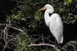 Kōtuku by Paul_Gerritsen, Photography->Birds gallery