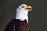 Baldy by jeenie11, photography->birds gallery