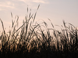 Tall Grass at Dusk by wheedance, Photography->Nature gallery