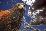 Harl Kari by biffobear, Photography->Birds gallery
