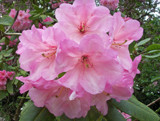 Rhodedendron by JOHNLAKEBURR, Photography->Flowers gallery