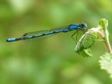 Azure Damselfly by stormdancer, Photography->Insects/Spiders gallery