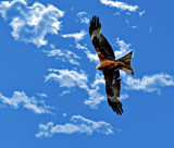 Red Kite by biffobear, photography->birds gallery