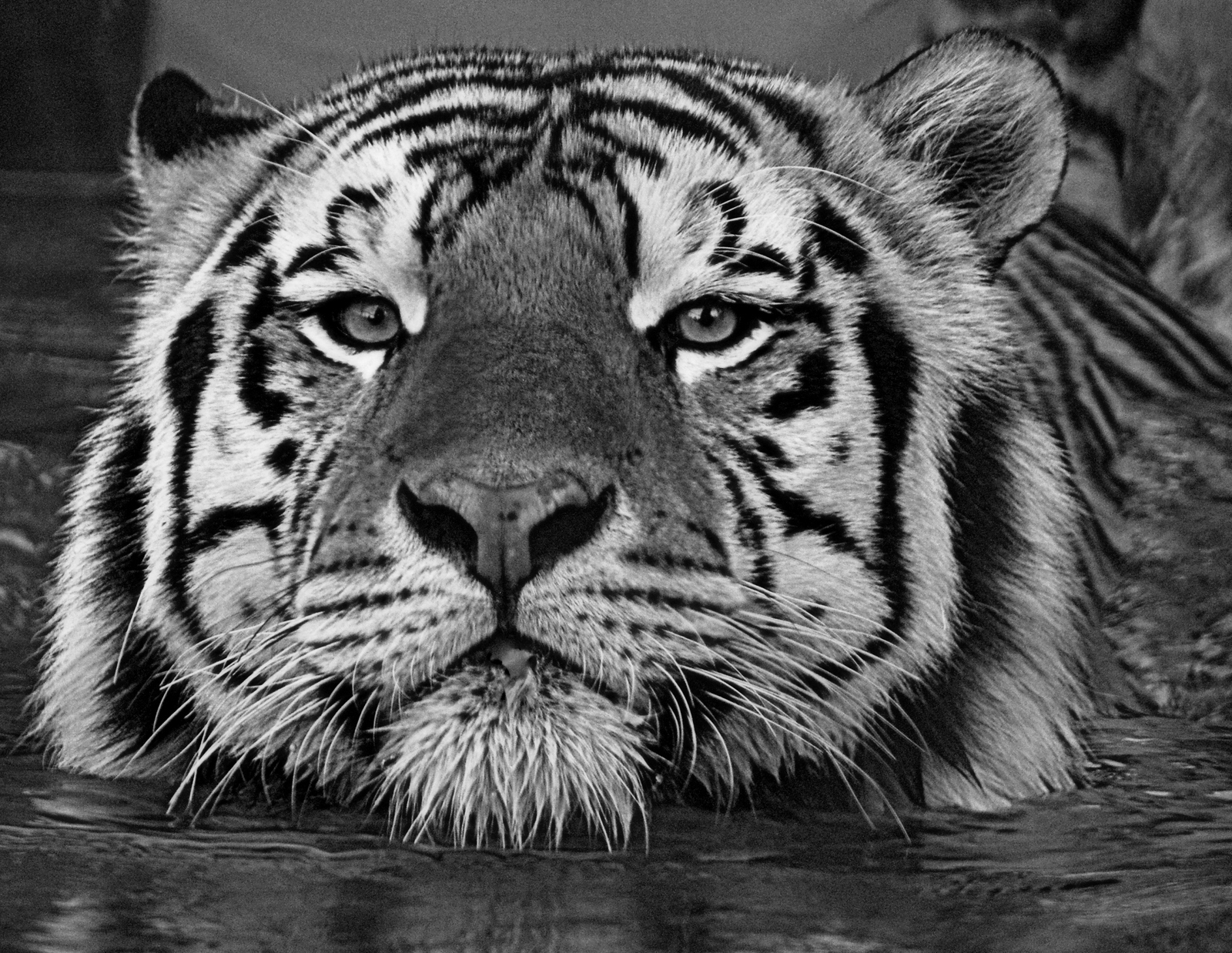 Mike The Tiger B&W by LakeMichigan, contests->b/w challenge gallery