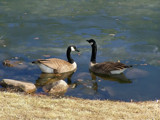 Paradise for a Pair of Geese by kidder, Photography->Birds gallery
