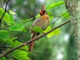 Mama Cardinal by spoton, Photography->Birds gallery