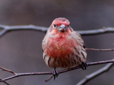 House Finch by gerryp, Photography->Birds gallery