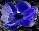 Got the Anenome Blues by aljahael, Photography->Flowers gallery