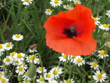 Bee heading for the poppy. by cat62, Photography->Insects/Spiders gallery