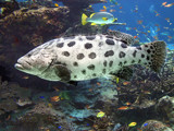 potato grouper by jeenie11, Photography->Underwater gallery