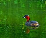 Little Grebe by biffobear, photography->birds gallery