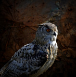 Turkestan Eagle Owl 2 by biffobear, photography->manipulation gallery