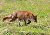 Reynard 2 by biffobear, photography->animals gallery