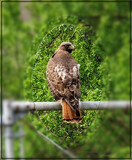 Red Tailed Hawk by Flmngseabass, photography->birds gallery