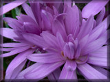 Purple Hues #1 by LynEve, Photography->Flowers gallery