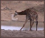 Yuk....this water taste ................... by SusanVenter, Photography->Animals gallery