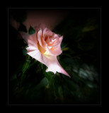 Rose on Friday by LynEve, Photography->Flowers gallery