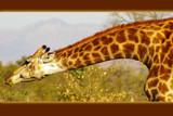 Giraffe by raminalexander, Photography->Animals gallery