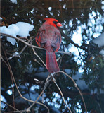 """Our Daily Visitor - Mr. Cardinal"" by icedancer, photography->birds gallery"