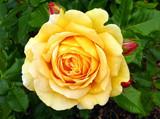 Golden Zest Yellow Rose 11 by gandarva, photography->flowers gallery