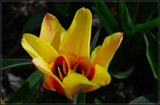 F² Tulip by corngrowth, photography->flowers gallery