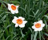 Unusual Daffy by trixxie17, photography->flowers gallery