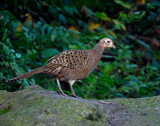 Female Pheasant by biffobear, photography->birds gallery