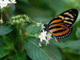 Butterfly on Flower by jeffpratt, Photography->Butterflies gallery