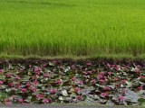 !!! Crop field and flower basin !!! by bijantalukdar, computer->landscape gallery