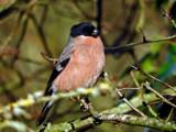 Female Bullfinch by biffobear, photography->birds gallery