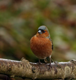 Male Chaffinch by biffobear, photography->birds gallery