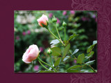 Boston Roses by Lokie, Photography->Flowers gallery