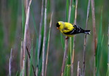 american goldfinch by solita17, Photography->Birds gallery