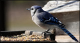 The Blue Jay #2 by tigger3, photography->birds gallery
