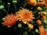 Honey Blush Mum by trixxie17, photography->flowers gallery
