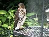 Hawk by rzettek, photography->birds gallery