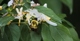 The Buzz about Honeysuckle by Pistos, photography->insects/spiders gallery