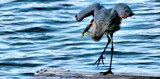 The Karate Kid ........ Heron by snapshooter87, photography->birds gallery