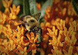 Buzzing the Milkweed by luckyshot, photography->gardens gallery