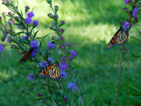 Monarch Trio for Mornstar by wheedance, Photography->Butterflies gallery