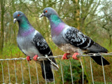 Around the Farm (Pigeon couple) by rozem061, Photography->Birds gallery