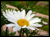 Daisy by StarLite, photography->flowers gallery