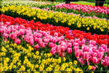 Keukenhof 19 by corngrowth, photography->flowers gallery