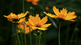 Coreopsis by luckyshot, photography->flowers gallery