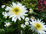 Christmas Daisies by LynEve, Photography->Flowers gallery