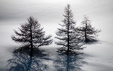 Some pines by ppigeon, Photography->Landscape gallery
