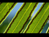 Fern Fronds by Samatar, Photography->Macro gallery