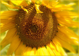 January Sunflower by LynEve, photography->flowers gallery