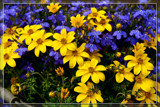 Bucket Full Of Sunshine by corngrowth, photography->flowers gallery
