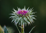Emerging Thistle Blossom by Pistos, photography->flowers gallery